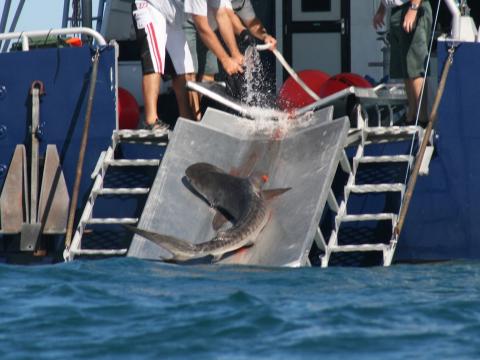 culling sharks essays
