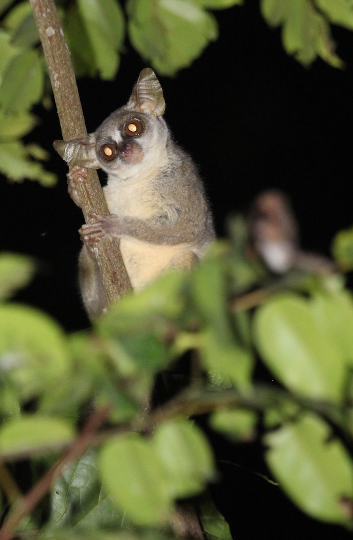 The Ecologist  Environment  Climate Change  News  Eco  Green     UK researchers discover a new species of primate from Africa     s Angolan rainforests