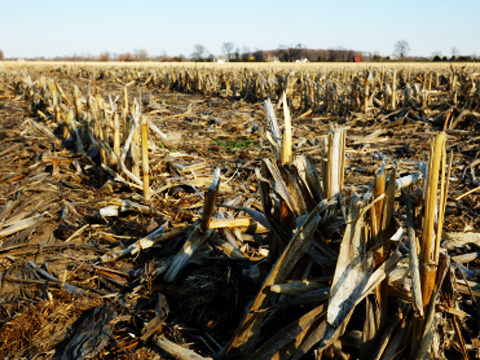 maize stubble in a harvested field