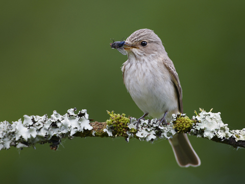 The Flycatcher by Richard Steel (Highly Commended in the International Year of Biodiversity Category)