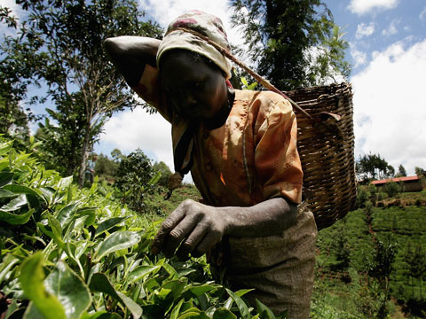 Tea picking in Kenya