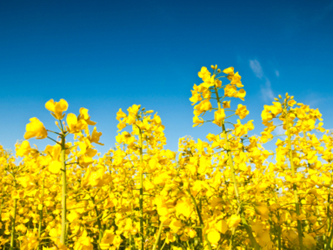 How green are vegetable and rapeseed oils?
