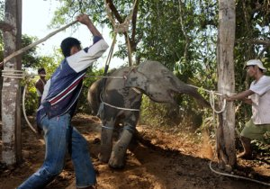 Worker's torture a recently captured baby elephant.