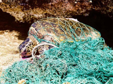 Turtle in 'ghost net'. Photo: NOAA News.