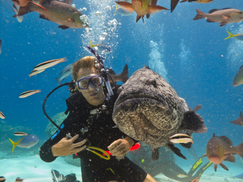 A scuba diving tourist feeds a giant potato cod in the Great Barrier Reef. Photo: Pete Niesen / Shutterstock.com.