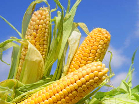 The Séralini study found that GM corn caused tumors in rats. Photo: smereka / Shutterstock.com