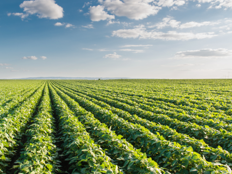 Soyabean fields for ever. Photo: Fotokostic / Shutterstock.com.