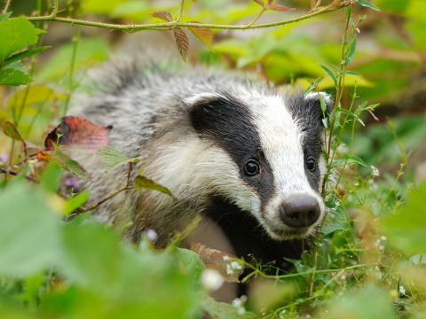 European badger in its native habitat. Photo: Volodymyr Burdiak / Shutterstock.com.