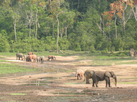 Elephants at Sangha-Mbaéré, Central African Republic. Photo: Nicolas Rost via Flickr.com.