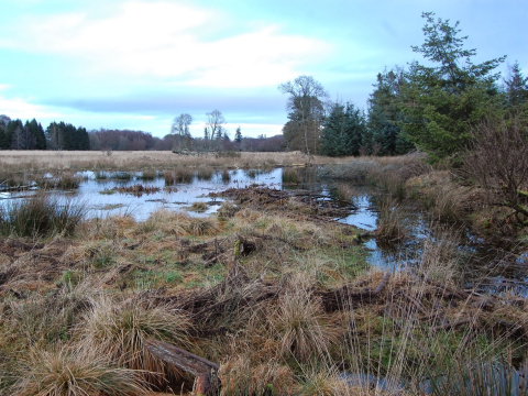 The watery world of beavers. This wetland was created by a 100m beaver dam across the valley. Photo: Paul Ramsay / beaversatbamff.blogspot.co.uk.