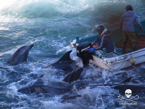 Selecting dolphins for capture at the 'drive hunt' at Taiji. Photo: Sea Shepherd.