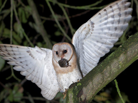 A British barn owl in the wild. Photo: Barn Owl Trust.