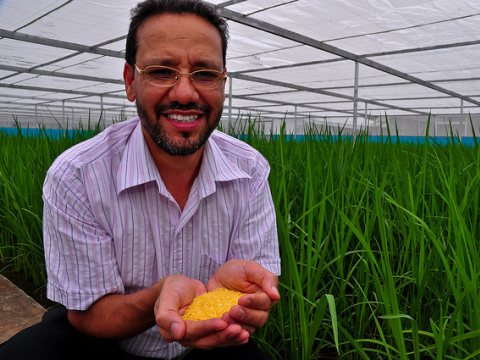 Golden Rice grain being held by Dr Parminder Virk in 'screenhouse' of Golden Rice plants. Photo: IRRI Photos via Flickr.com.