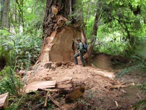 Disturbing evidence of an 8x10-foot section of 'poached' burl-wood. Photo: US National Park Service.