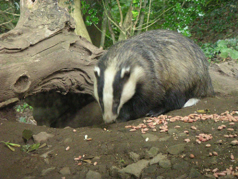 Badgers love peanuts - a fact exploited by badger cullers, but not on this occasion. Photo: Natalie Downe via Flickr.com.