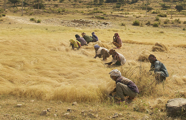 The teff harvest in the highlands of northern Ethiopia. Photo: Alan Davey via Flickr.com.