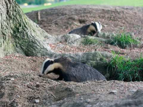 English badgers out in the early evening. Photo: Hugh Warwick / urchin.info.
