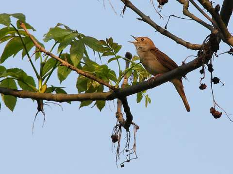 Common nightingale (luscinia megarhynchos). Photo: gynti_46 via Flickr.com.