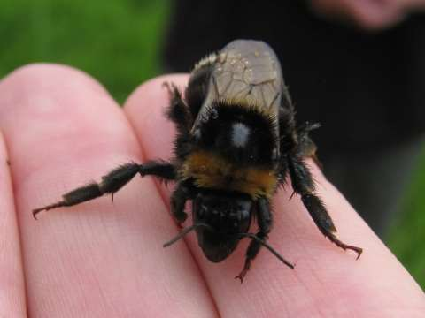 A bee in the hand ... this Swedish queen is unusually well-travelled. Photo: Nikki Gammans.