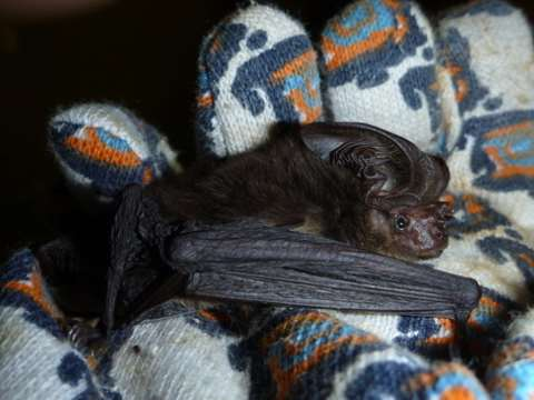 Back after going missing for more than a century: the New Guinea big-eared bat. Photo: Julie Broken-Brow.