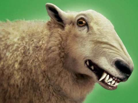 Beware wolves in sheep's clothing! Photo: public domain.