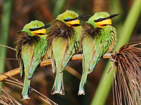 Little bee eaters on the Okovango River,  Botswana. Photo: amattox mattox via Flickr.