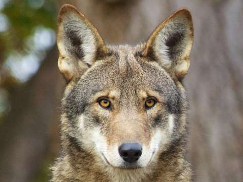 Red wolves are clinging on to existence in a few thousand kilometres of the southeastern US. Photo: B. Bartel / USFWS, CC BY-SA