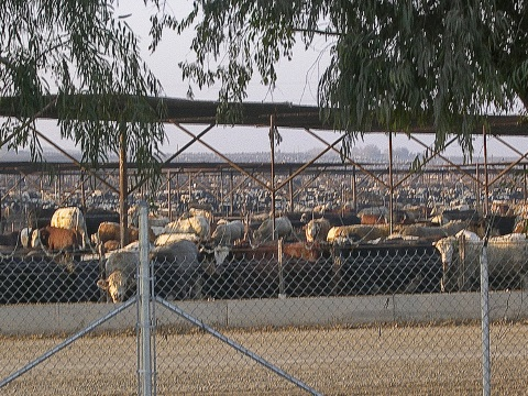 Cattle packed in as far as the eye can see at the Harris Ranch feedlot in California. Photo: Farm Sanctuary via Flickr.