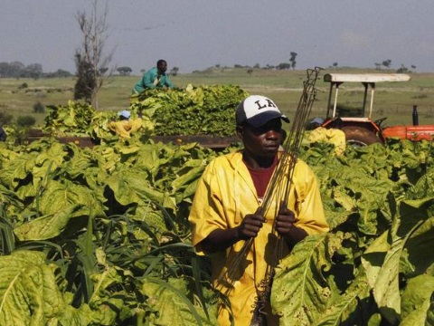 A tobacco farmer in Marondera District, Zimbabwe. Photo: Zimbabwe Ministry of Agriculture.