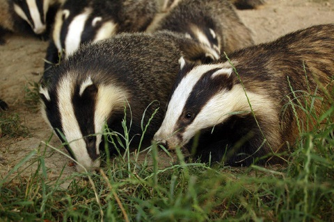 Photo: Badgers in the wild by Tim Brookes via Flickr.