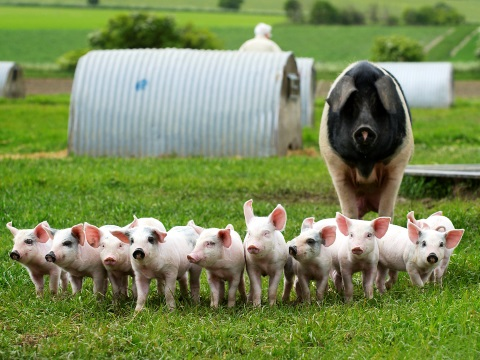 Organic outdoor pigs raised at Eastbrook Farm in Wiltshire. Photo: helenbrowningsorganic.co.uk/