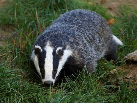 At least this badger at the British Wildlife Centre is safe from culling. Photo: Helen Haden via Flickr.