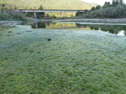 Algae on the Trinity River, July 2014. Photo: Klamath Justice Coalition.