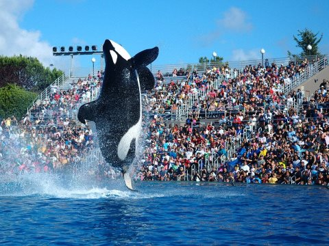 Shamu show with Orcas in San Diego's Sea World Photo: Wikimedia Commons.