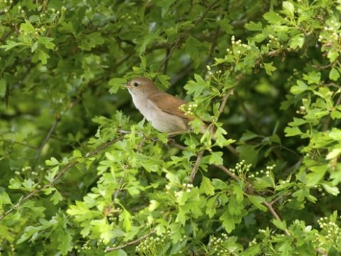 Nightingale singing in a hawthorn tree. Photo: John Bridges / rspb-images.com.