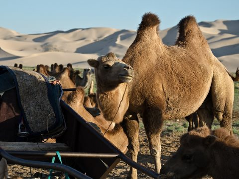 Camels in the Gurvan Saikhan national park, Gobi desert, Mongolia. Photo: Stephane L via Flickr.