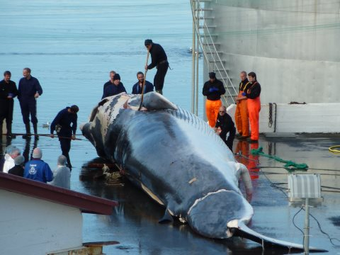 Fin whale landed at Miòsandur whaling station Hvalfjördur, Iceland, in August 2014. Photo: EIA.