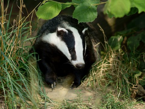 Badger seen at the British Wildlife Centre, Newchapel, Surrey. Photo: Peter Trimming via Flickr.