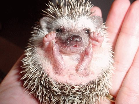 Loveable? Who could doubt it. But hedgehog number in the UK are down 37% in ten years. Photo: Last Human Gateway via Flickr.