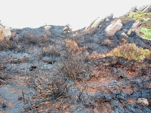 Skilful heather burning can enhance biodiversity, according to the Moorland Association. Recently burnt heather at Ramshaw Rocks, Staffordshire. Photo: Paul via Flickr.