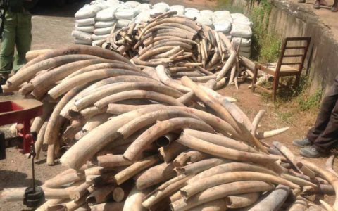 781 tusks from Tanzania seized in Malawi in transit to China, May 2013. Photo: EIA.
