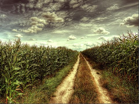 In the future, European corn fields like this on in Poland could be GMO. But at least the EU can no longer force its member states to allow GMOs to be planted. Photo: Maciek via Flickr.