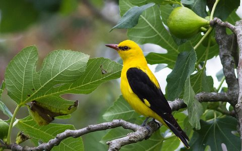 The Golden Oriole is one of the birds set to benefit from the protection of the Aftrica-Eurasia Flyway. Photo: m-idre31 via Flickr.