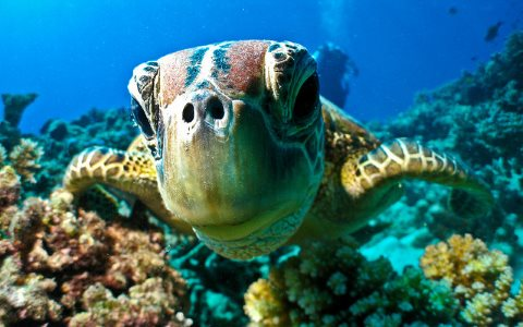 At risk from climate change: a turtle on the Great Barrier Reef. Photo: Marc Füeg via Flickr.