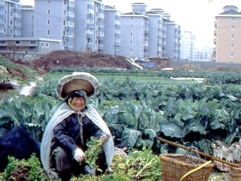 In Shanghai much food used to be grown within the city. In recent years peri-urban agriculture has taken over from intra-urban cropping. Whilst some land has been paved over as the city expanded, large areas of peri-urban land are still being set aside fo