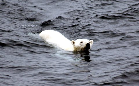 The possible lengthening of ice-free periods may affect polar bears before the end of the century. Photo: Brocken Inaglory via Wikimedia Commons.