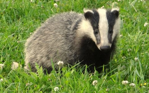 An English badger cub, innocent as summer days are long. Photo: Peter Burnage via Flickr.