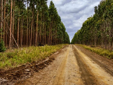 FAO - it's not a forest! Miles after mile of Eucalyptus plantation in South Africa. Photo: Steve Slater via Flickr CC-BY.