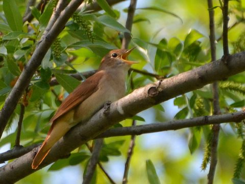 Common Nightingale (Luscinia megarhynchos) by Noel Reynolds via Flickr, CC BY 2.0.