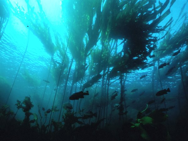 A submarine forest of kelp. Photo: NOAA.
